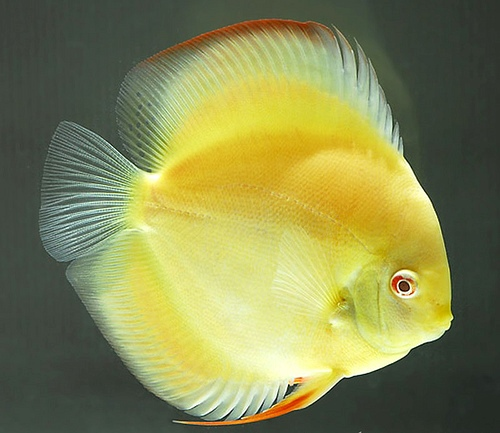 Home for Discus fish for sale near me