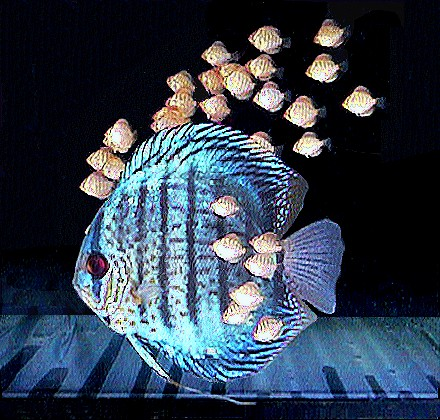 Discus informition for Keeping discus fish